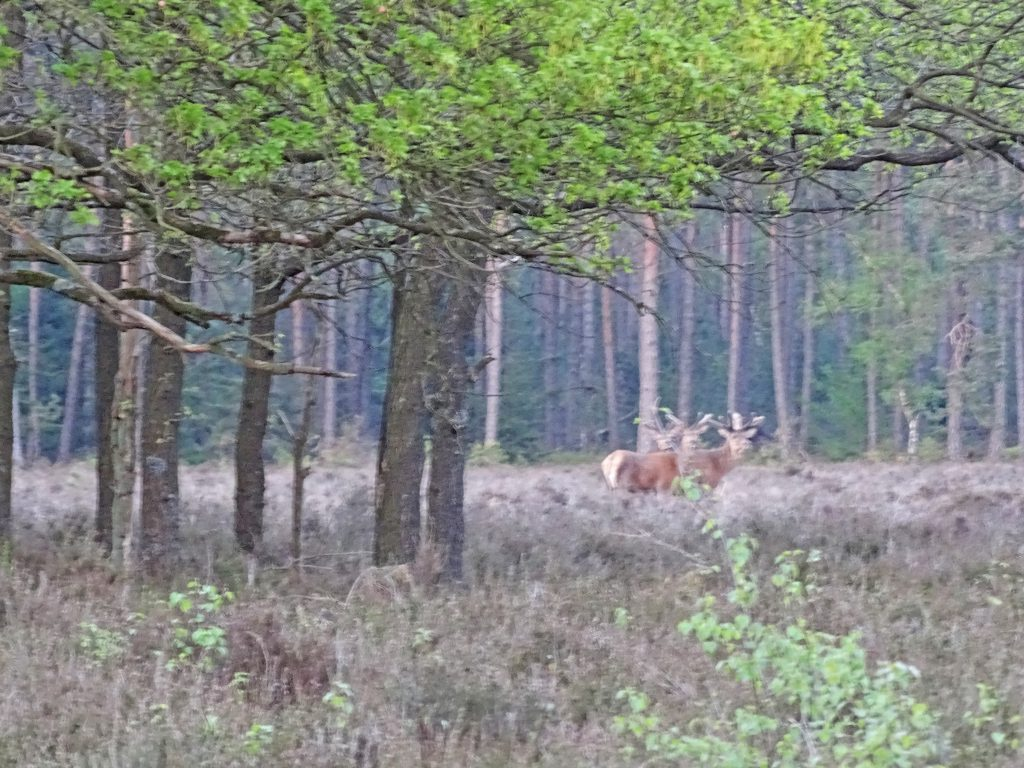 Wilde zwijnen en edelherten op de Veluwe