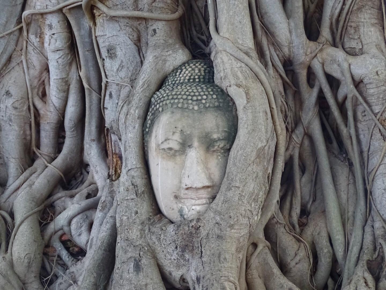 boeddha hoofd in boom ayutthaya thailand