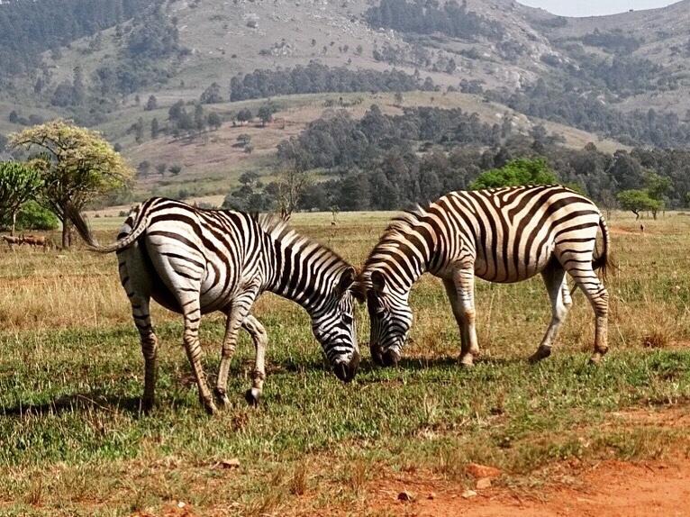 zebra's zuid-afrika