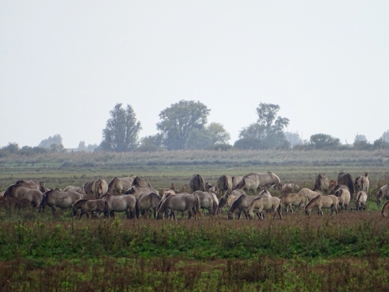 konikspaarden oostvaardersplassen