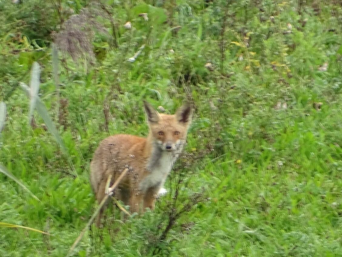 vossen oostvaardersplassen
