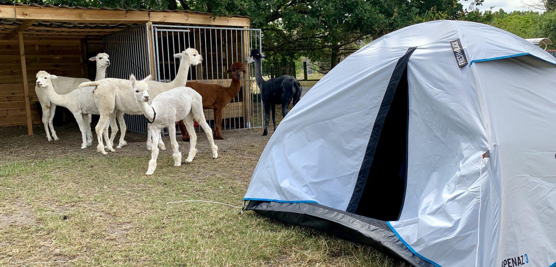 Kamperen met alpaca's