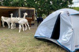 Kamperen en knuffelen met alpaca's in België