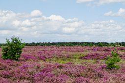 Wandelen door de bloeiende heide van de Strabrechtse Heide